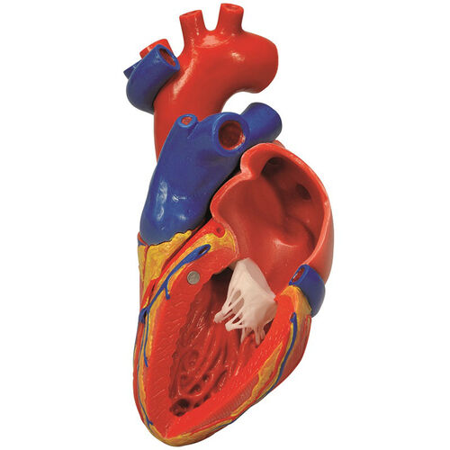 Our Anatomical Model - 2 Part Human Heart with Bypass on Mounted Base is on sale now.