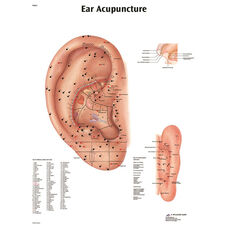 Acupuncture Ear Anatomical Laminated Chart - 20