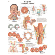 Larynx Anatomical Laminated Chart - 20
