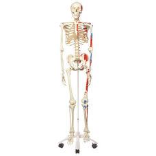 Anatomical Model - 67