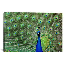 Peacock Feathers by Unknown Artist Gallery Wrapped Canvas Artwork