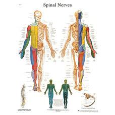 Spinal Nerves Anatomical Adhesive Back Chart - 18