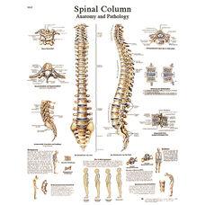 Spinal Column Anatomical Laminated Chart - 20