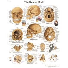 Human Skull Anatomical Adhesive Back Chart - 18