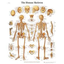 Human Skeleton Anatomical Paper Chart - 20