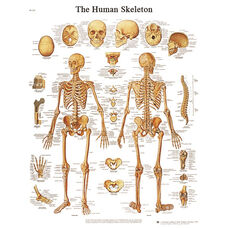 Human Skeleton Anatomical Adhesive Back Chart - 18