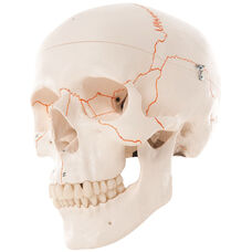 Anatomical Model - 3 Part Numbered Classic Skull