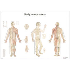 Acupuncture Body Anatomical Laminated Chart - 20