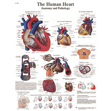 Human Heart Anatomical Adhesive Back Chart - 18