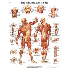 Human Musculature Anatomical Adhesive Back Chart - 18