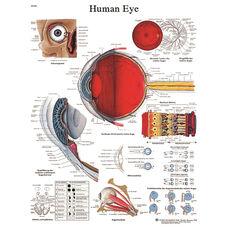 Human Eye Anatomical Paper Chart - 20