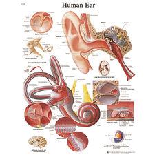 Human Ear Anatomical Laminated Chart - 20