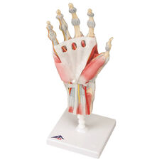 Anatomical Model - 4 Part Hand Skeleton with Removable Ligaments and Muscles on Mounted Base