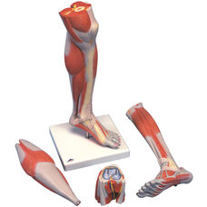 Anatomical Model - 3 Part Life Size Lower Leg Muscle with Detachable Knee on Mounted Base