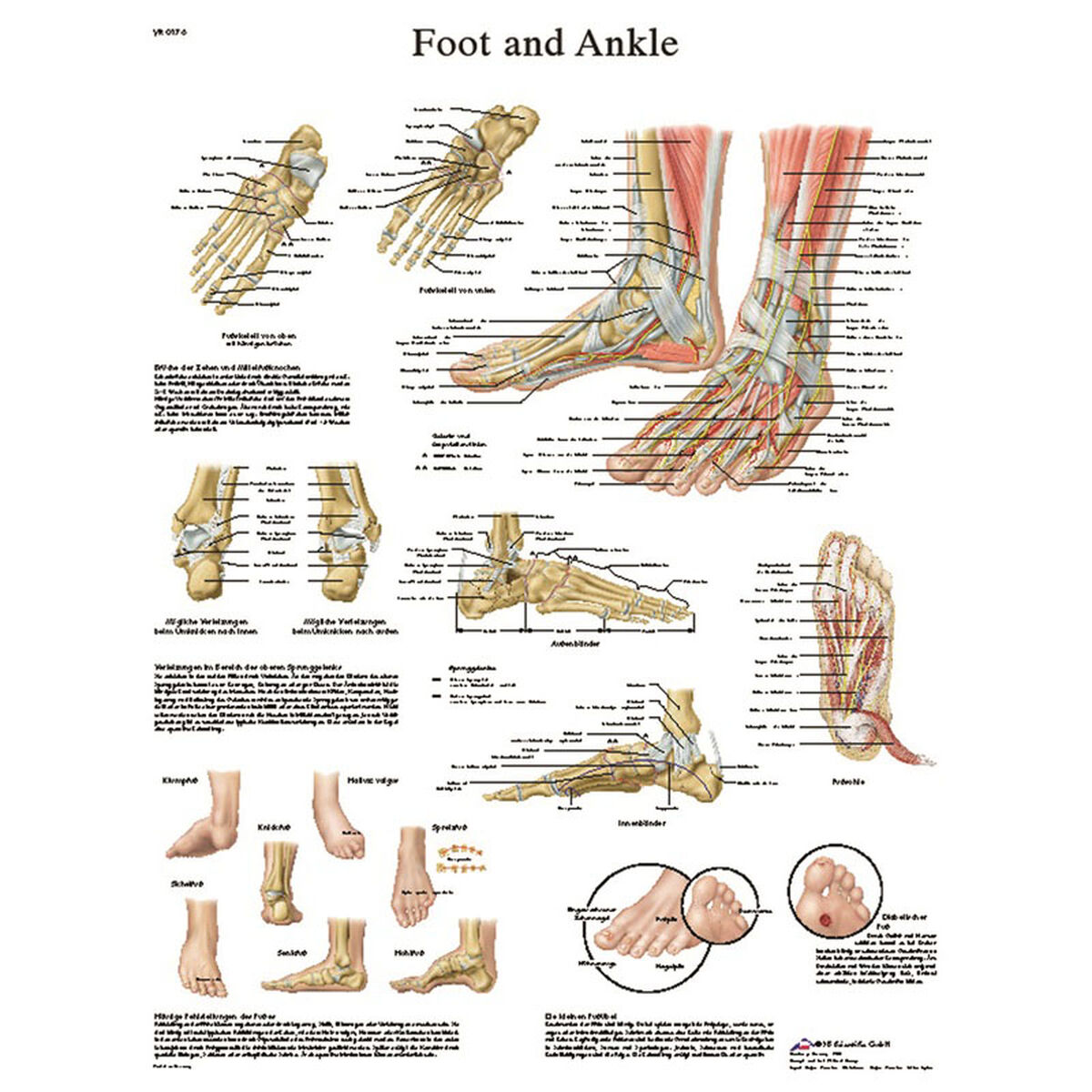 Foot Ankle Laminated Chart 12 4608l Schoolfurniture4less