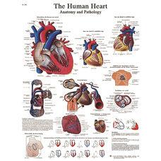 Human Heart Anatomical Paper Chart - 20