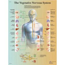 Vegetative Nervous System Anatomical Paper Chart - 20
