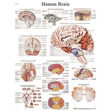 Human Brain Anatomical Adhesive Back Chart - 18